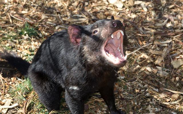 tasmánec