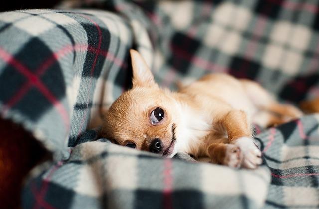 štěně čivavy